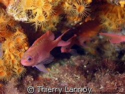 Anthias family